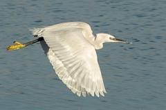 Little egret on take-off