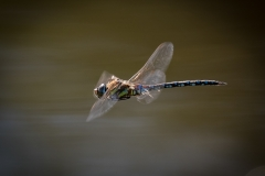 Southern Migrant Hawker in flight