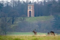 Deer near Belton Tower