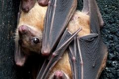 Steve Myall - Roosting Egyptian Fruit Bats