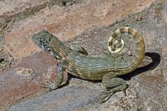 Curley Tailed Lizard-Cuba