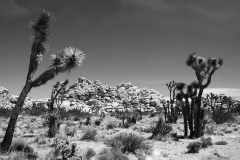 Joshua Trees and Granite