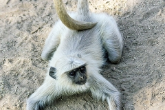 Langur Monkey-Ranthambore India
