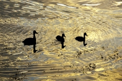 Mallards On Golden Pond
