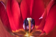 3rd Red Tulip