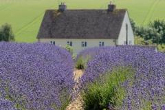 1st Cotswold Lavender Farm