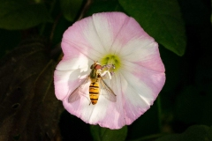 Episyrphus Balteatus hoverfly on field bindweed