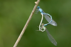 Damselflies in Courtship