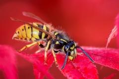 3rd Wasp