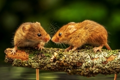 Harvest Mice reflections