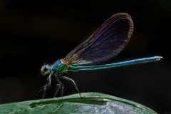 1st Beautiful Demoiselle - Male