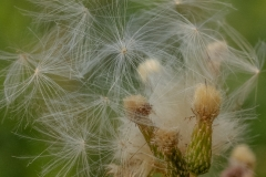 Dandelion type seed head