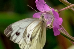 3rd Large white butterfly - Pieris brassicae