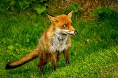 2nd Red Fox