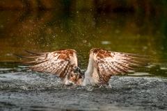 3rd Osprey