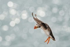 Puffin in freefall