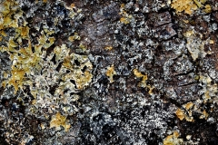 Peppered Moth camouflaged