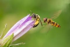 Bee v Hoverfly
