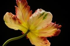 1st Parrot Tulip