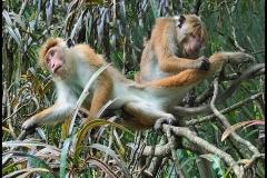 Toque Macaques - Kandy Sri Lanka